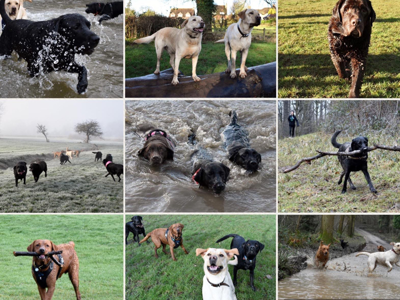 Loopydorable Labradors of Warwickshire
